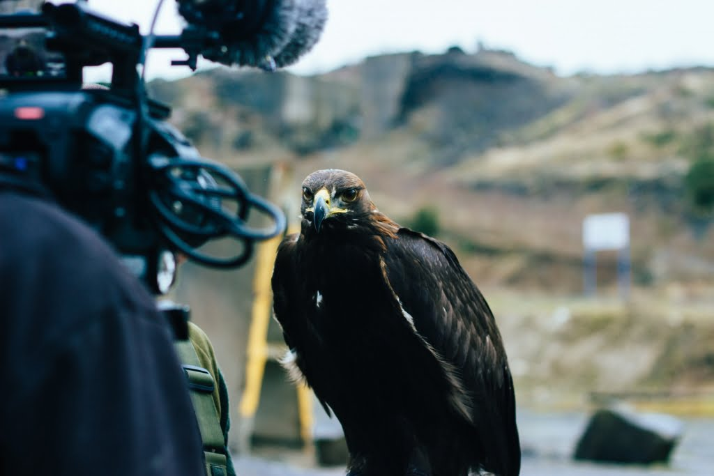 Golden Eagle staring into the camera: video production